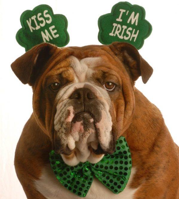 Bulldog wearing a green bow tie and wearing ear pieces shaped like shamrocks that say Kiss me I'm Irish